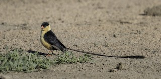 - Shaft-tailed Whydah