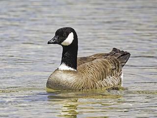 Cackling Goose (Aleutian), ML100407581