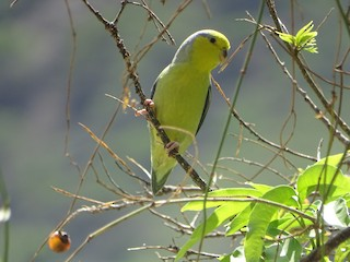 - Yellow-faced Parrotlet