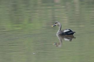 Indian Spot-billed Duck, ML100456281