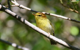 - Yellow-throated Woodland-Warbler