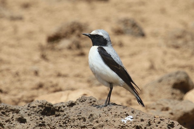 Northern Wheatear (Black-throated)