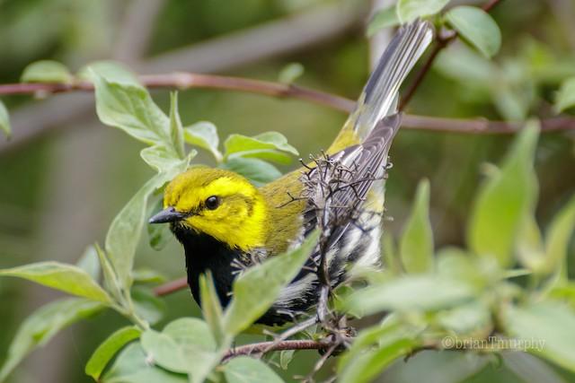 ©Brian Murphy - Black-throated Green Warbler