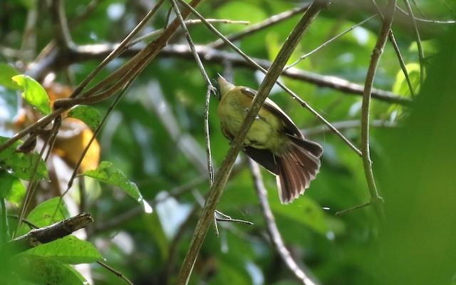 Sulphur-rumped Flycatcher