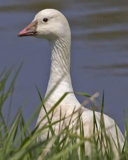 Ross's Goose, ML100678831