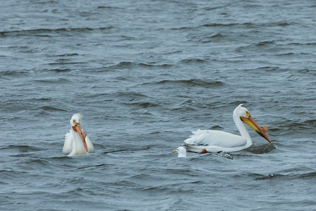 ©Molly A. Hirst 🐑 - American White Pelican