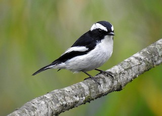 - Little Pied Flycatcher