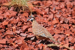 Spinifex Pigeon (Rufous-bellied)