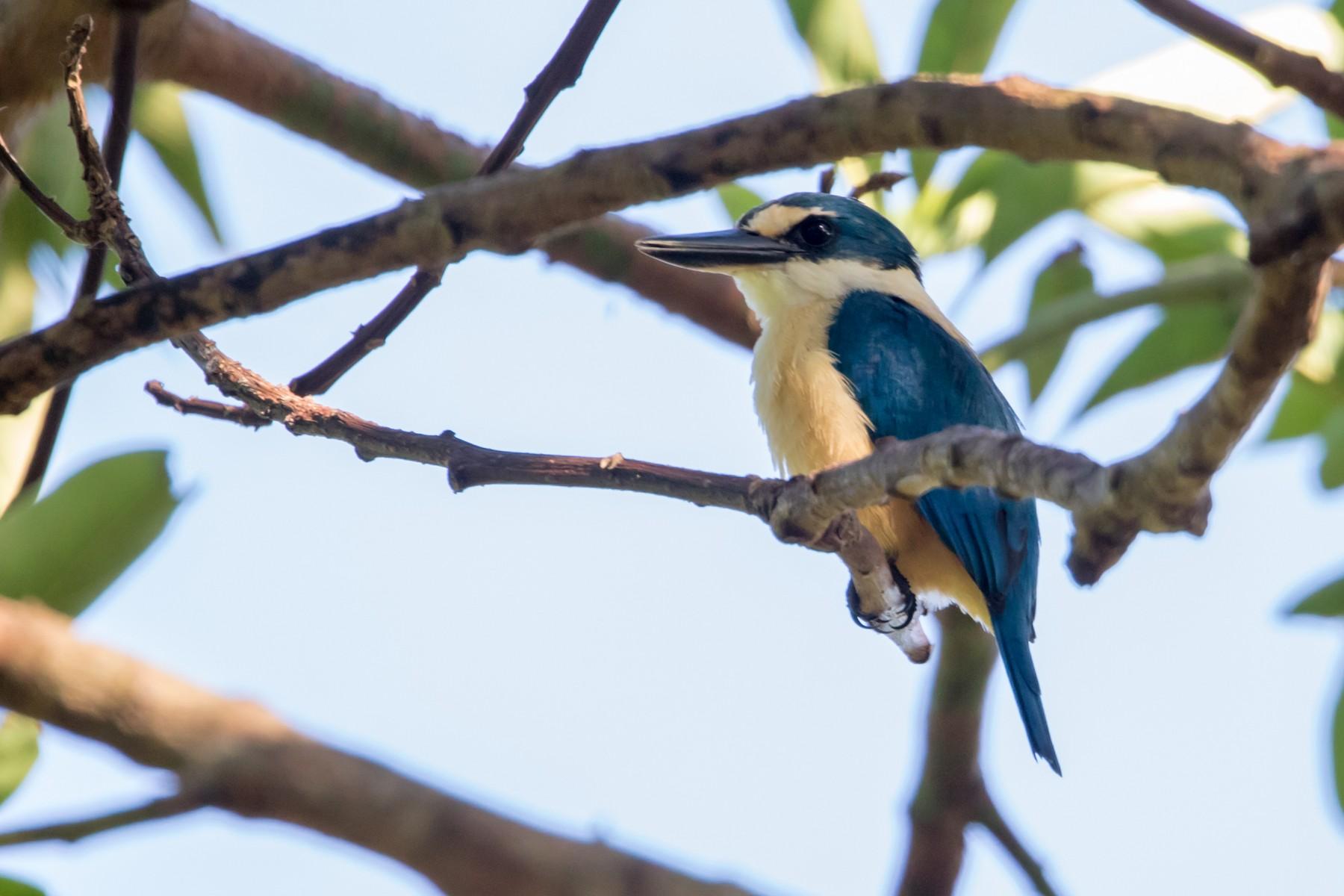 Flat-billed Kingfisher - Mike Greenfelder