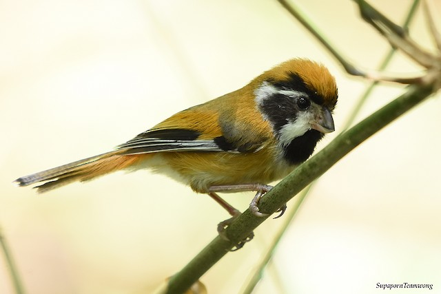 Black-throated Parrotbill (Black-eared)