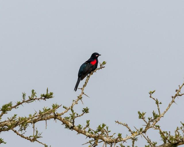 Red-shouldered Cuckooshrike