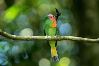 - Red-bearded Bee-eater