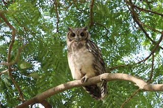 - Grayish Eagle-Owl