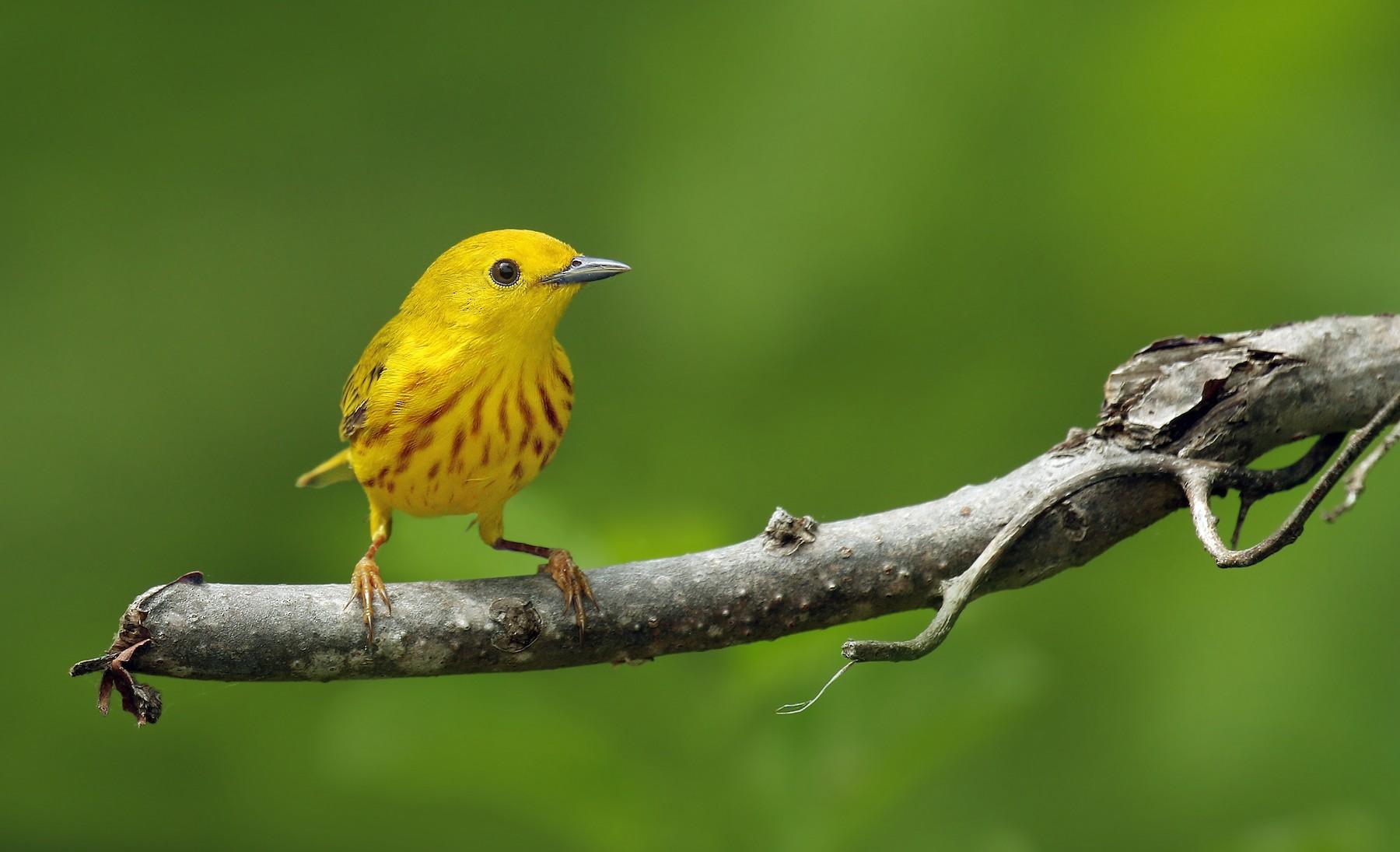 Yellow Warbler (Northern) - Ryan Schain