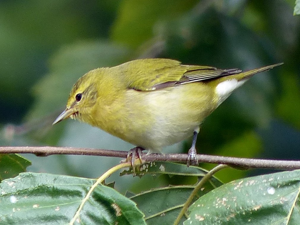Tennessee Warbler - Jeremy Collison
