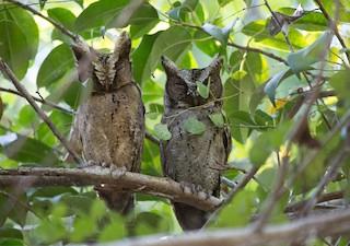 - Sunda Scops-Owl
