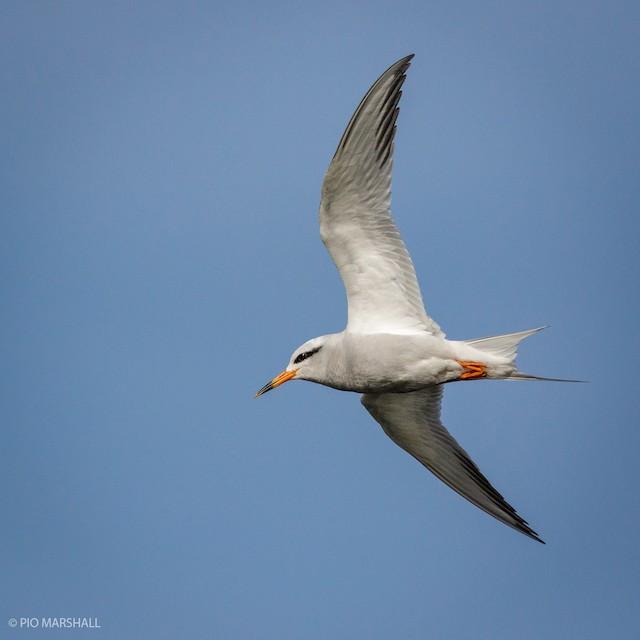 Snowy-crowned Tern