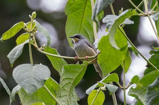 - White-chinned Prinia
