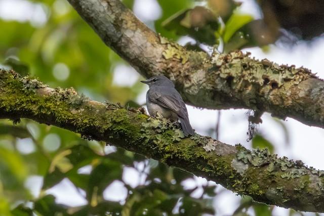 Ashy Flycatcher (presumed subspecies <em>brevicauda</em>).