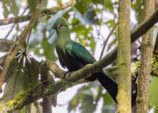 - Black-billed Turaco