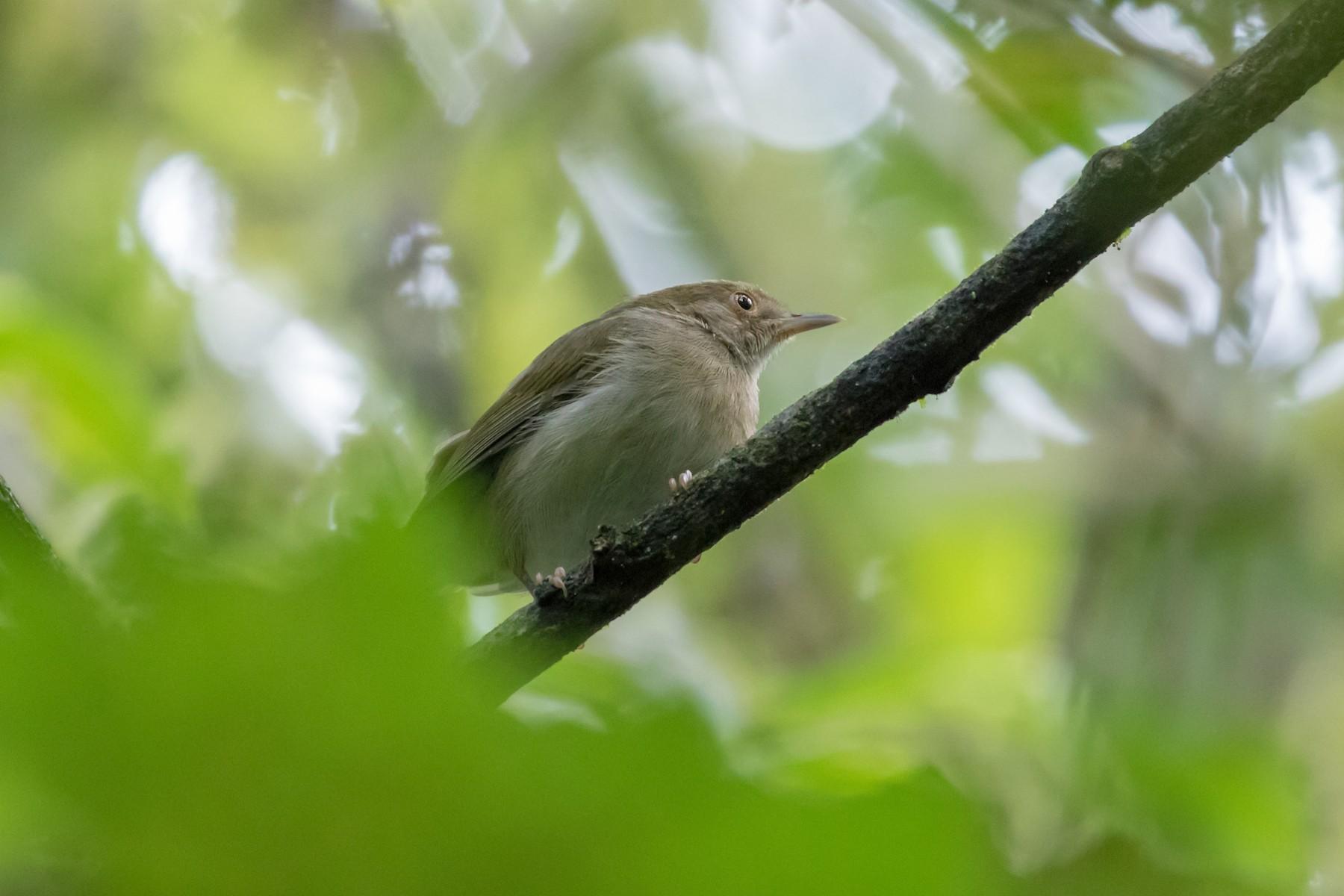 Olive-green Camaroptera - Christopher Sloan
