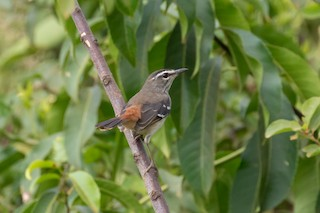 - Brown-backed Scrub-Robin
