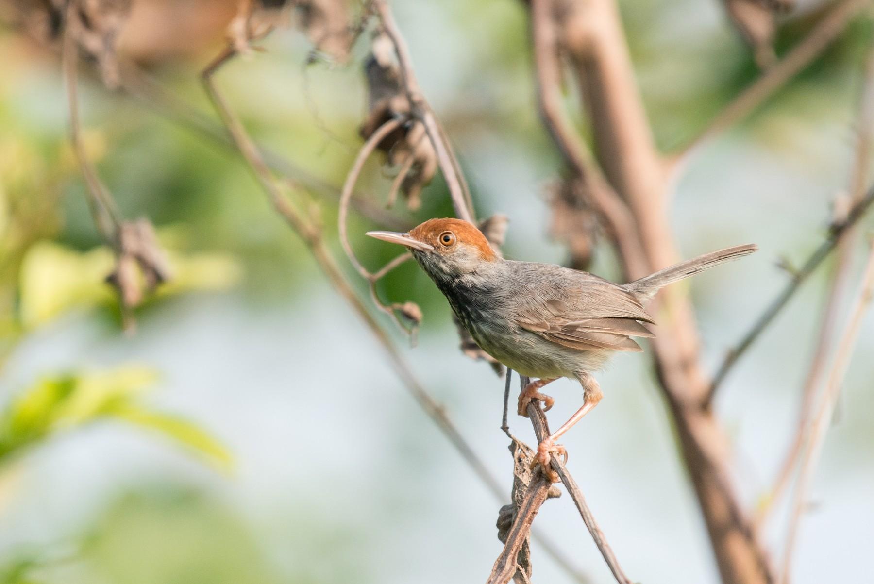 Cambodian Tailorbird - John C. Mittermeier