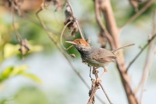 - Cambodian Tailorbird