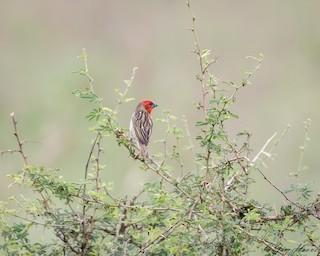 - Cardinal Quelea