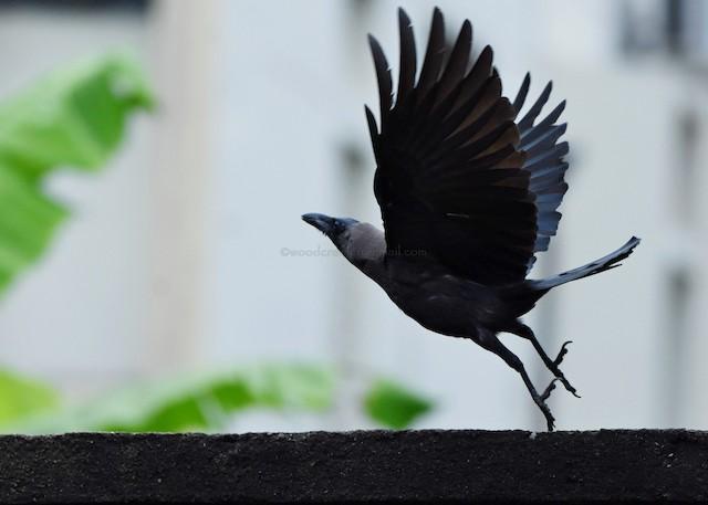 ©Rajesh Radhakrishnan - House Crow