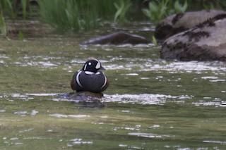 Harlequin Duck, ML101696041