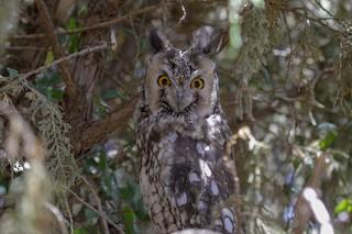 - Abyssinian Owl