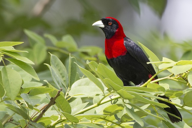 Presumed adult Crimson-collared Tanager.
