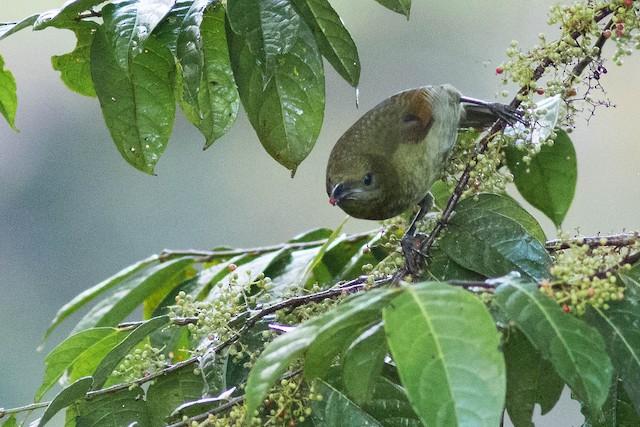Loria's Satinbird