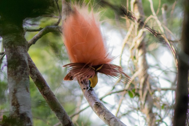 Raggiana Bird-of-Paradise