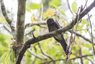 - Barred Owlet-nightjar