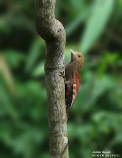 - Pale-headed Woodpecker