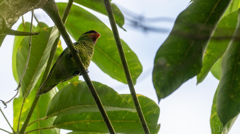 Mindanao Lorikeet - Forest Jarvis