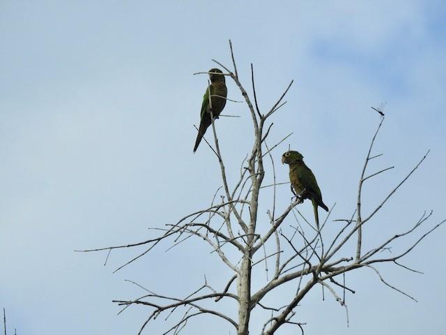 Olive-throated Parakeet (Aztec)