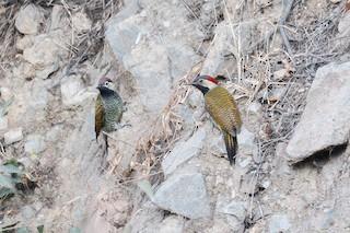 - Black-necked Woodpecker