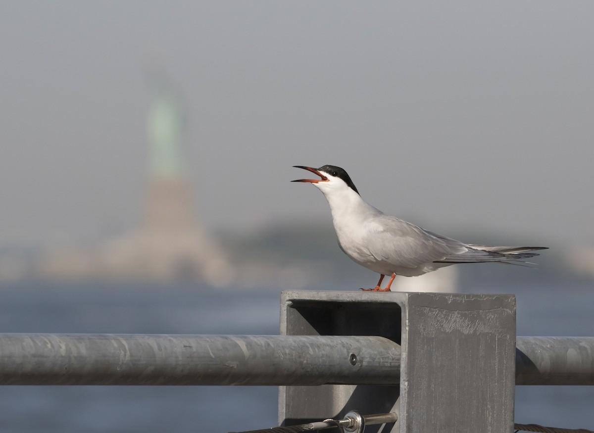Common Tern ML102428281