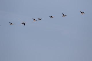 Canada Goose, ML102492681