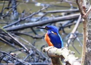 - Shining-blue Kingfisher