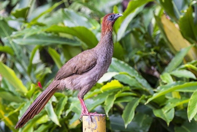 Variable Chachalaca (Little)