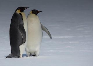 - Emperor Penguin