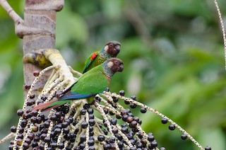 - Maroon-faced Parakeet
