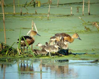 Fulvous Whistling-Duck, ML102664641
