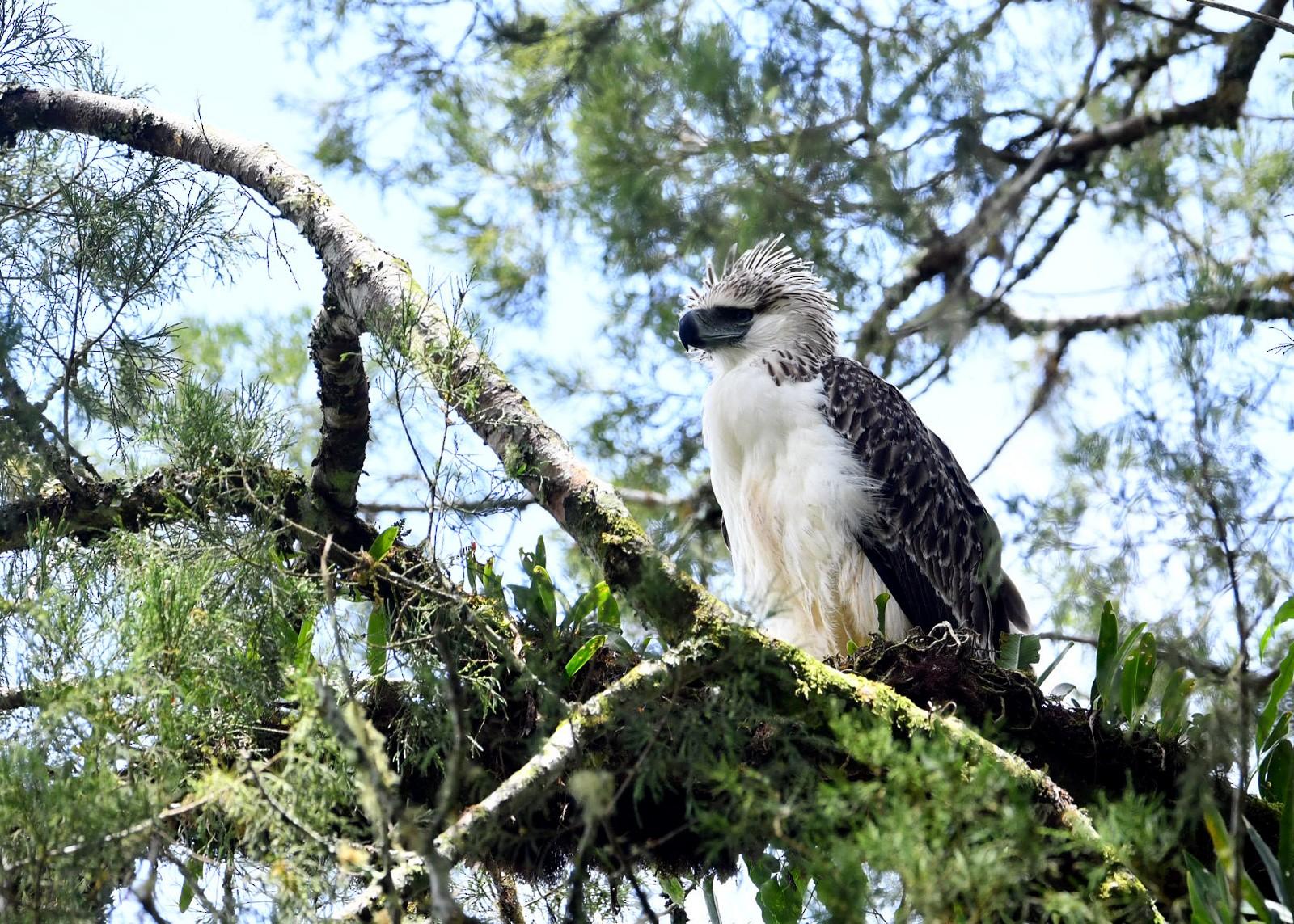 Philippine Eagle - Chaiyan Kasorndorkbua