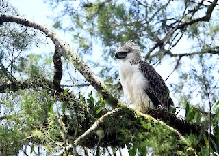 - Philippine Eagle