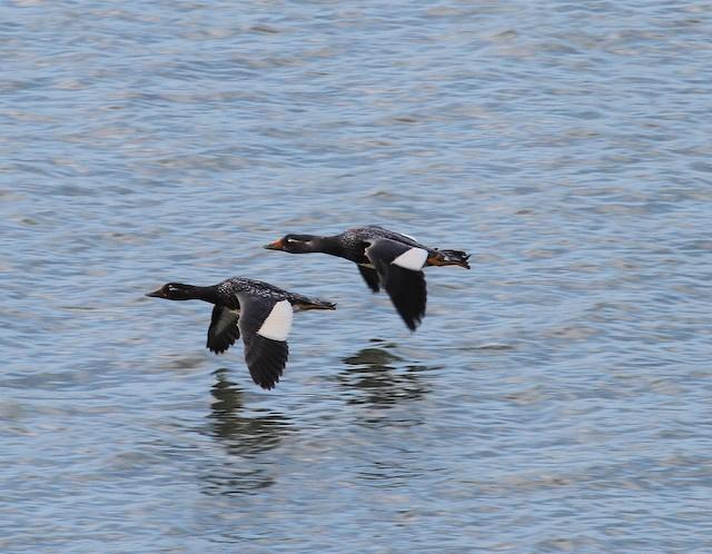 Flying Steamer-Duck